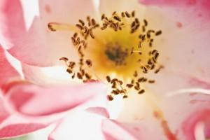 Sinne - Blüte
